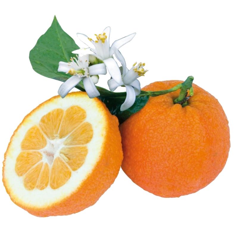 Oranger amer Image